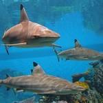 Рифовые акулы на океанариуме Балтимора